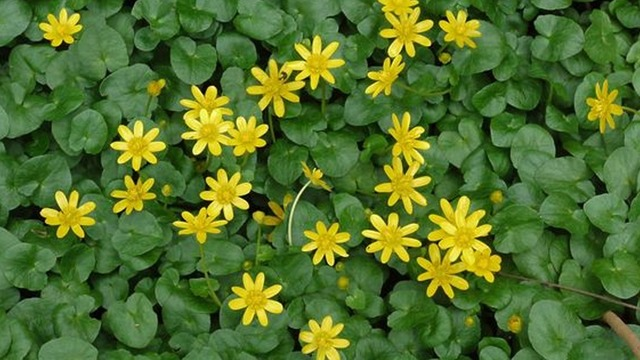 SCDNR asks public's help locating highly invasive Fig buttercup