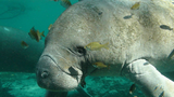 SC DNR reminds boaters to look out for manatees returning to coastal waters